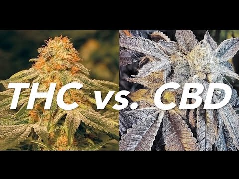 CBD vs THC by Cannabis Frontier   ASK A BUDTENDER